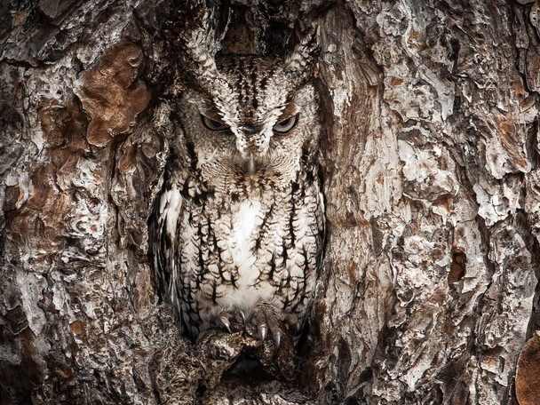 03 - National Geographic Photo Contest 2013 - Portrait of an Eastern Screech Owl