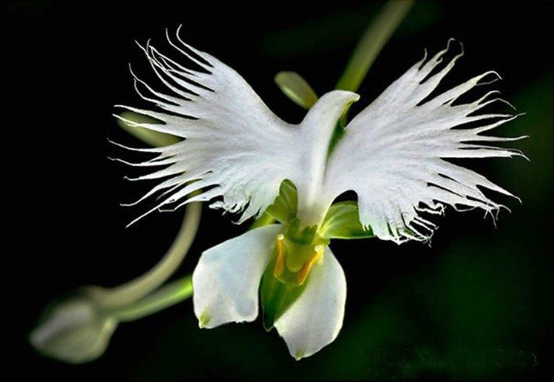 Bunga Anggrek Bangau Putih 3