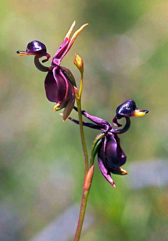 Bunga Mirip Seperti Bentuk Hewan - Bunga-Anggrek-Bebek-Terbang-1