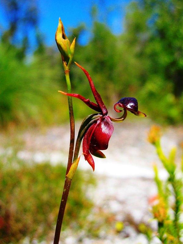 Bunga Anggrek Bebek Terbang 2