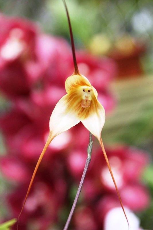 Bunga Mirip Seperti Bentuk Hewan - Bunga-Anggrek-Monyet-1