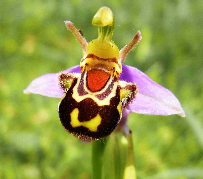 Bunga Ophrys Bombybliflora Seperti Tawon 3